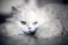 elegant white för katt Fotografering för Bildbyråer