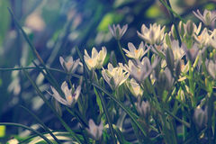 Elegant white garden flowers, tinted image Royalty Free Stock Photography