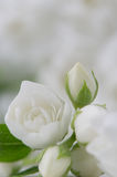 Elegant White Jasmine Flowers Royalty Free Stock Photos