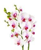 Elegant white orchids - isolated
