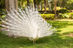 Elegant White Peacock. An elegant white peacock strutting through a beautifully landscaped garden Royalty Free Stock Photography