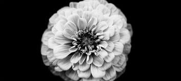 Elegant white petal flower Zinnia on black background. Macro view selective focus monochrome photography.  Stock Photo