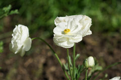 Elegant white poppies. In the garden on a brown and green background Royalty Free Stock Images