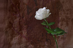 Elegant white rose against grungy background Stock Images