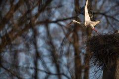 Grey Heron - wildlife in its natural habitat. Grey Heron  Ardea cinerea - wildlife in its natural habitat stock photography