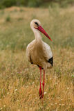 Elegant white stork walking Stock Photos