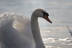 Elegant white swan royalty free stock images
