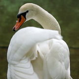 Elegant white swan at the lake Royalty Free Stock Images
