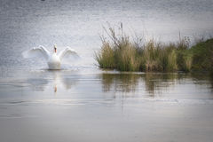 Elegant white swan spreading his wings with lovely reflection on the icy water stock photos