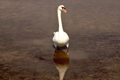 Mute swan. Elegant white swan swimming in shallow water. Front view Royalty Free Stock Photos