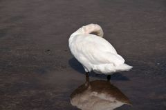 Mute swan. Elegant white swan swimming in shallow water. Right side view Stock Photography