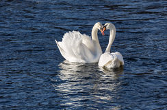 Elegant white Swans mating in spring. Royalty Free Stock Images