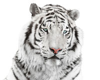 Elegant white tiger Royalty Free Stock Images