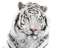 Elegant white tiger Royalty Free Stock Images