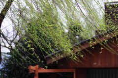 Elegant Willow trees with the background of house. This Picture are suitable for using in Magazine, topic related travel, holiday, summer, happy and enjoy Stock Image