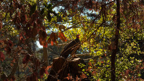 Elegant yawning buzzard in tree Royalty Free Stock Image