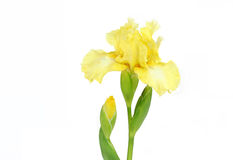 Elegant Yellow Iris on White Royalty Free Stock Photo