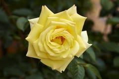 Elegant Yellow Rose Stock Photos
