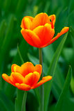 Elegant yellow tipped orange tulips Stock Photography