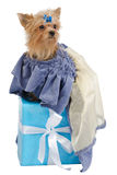 Elegant Yorkshire Terrier on a gift box Royalty Free Stock Images