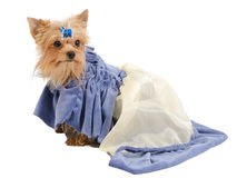 Elegant Yorkshire Terrier on white Stock Image
