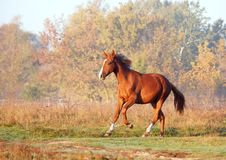 The elegant young mare gallops on a meadow. In the autumn morning stock photography