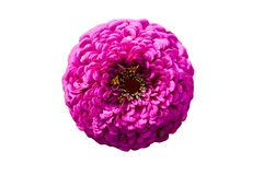 Elegant zinnia double magenta flower isolated on white.  Royalty Free Stock Photos