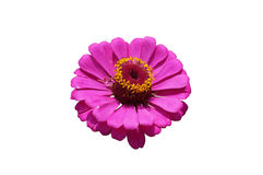 Elegant zinnia pink flower close up Royalty Free Stock Image