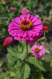 Elegant zinnia pink with yellow center flower close up Royalty Free Stock Photo