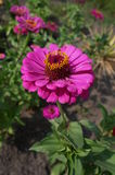 Elegant zinnia pink with yellow center flower close up Stock Images