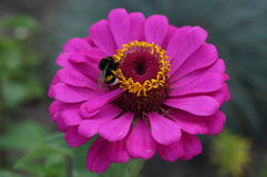 Elegant zinnia pink with yellow center flower close up with bumblebee Royalty Free Stock Photo