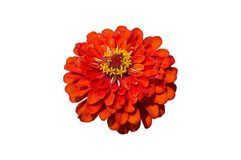 Elegant zinnia red flower isolated on white.  royalty free stock photography