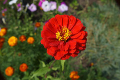Elegant zinnia red with yellow center flower close up Royalty Free Stock Photography