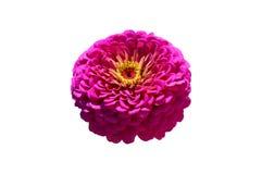 Elegant zinniarosa färgblomma som isoleras på vit Royaltyfria Foton