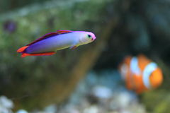 Eleganta firefish Royaltyfri Fotografi