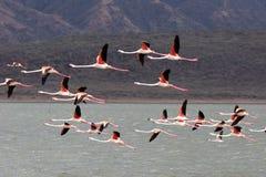 eleganta flamingos Arkivbilder