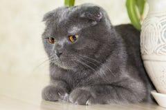 Eleganta Grey Lop-Eared Scottish Fold Cat som ligger på tabellen Royaltyfria Bilder