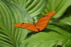 Eleganta Julia Butterfly som vilar på sidor Royaltyfri Fotografi