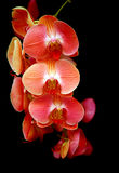 Eleganta orkidér mot mörk bakgrund Royaltyfri Foto