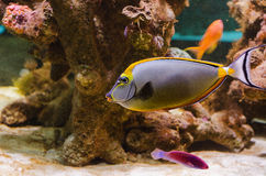 Eleganta Unicornfish Arkivfoton