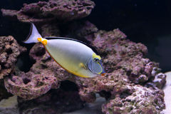 Eleganta unicornfish i akvarium Arkivfoto