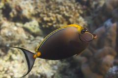 Eleganta unicornfish (Naso elegans) Royaltyfri Foto