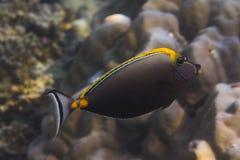 Eleganta unicornfish (Naso elegans) Arkivfoton