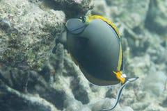 Eleganta unicornfish på den Surin ön Fotografering för Bildbyråer