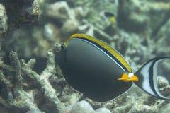Eleganta unicornfish på den Surin ön Arkivbilder