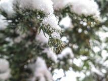 Eleganta visare av evergreen täckas med små droppar av is och snöar royaltyfri foto