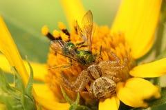 Elegante Befestigungsklammer-Spinne, die eine Fliege erfasst lizenzfreies stockfoto