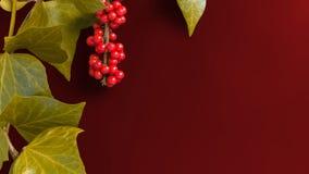 Elegante Blätter und Eberesche tragen auf einfachem Kirschhintergrund Früchte Lizenzfreies Stockfoto