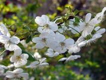 Elegante bloeiende kersentak met mooie bloemen met kleine witte bloemblaadjes Royalty-vrije Stock Foto's