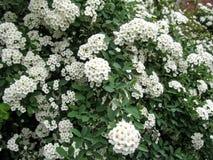 Elegante Blumenbeschaffenheit von vielen weißes kleines spirea blüht Lizenzfreie Stockfotos